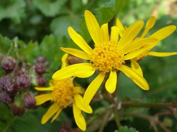 Packera aurea - Golden Ragwort